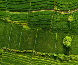 Green rice fields in Bali, Indonesia
